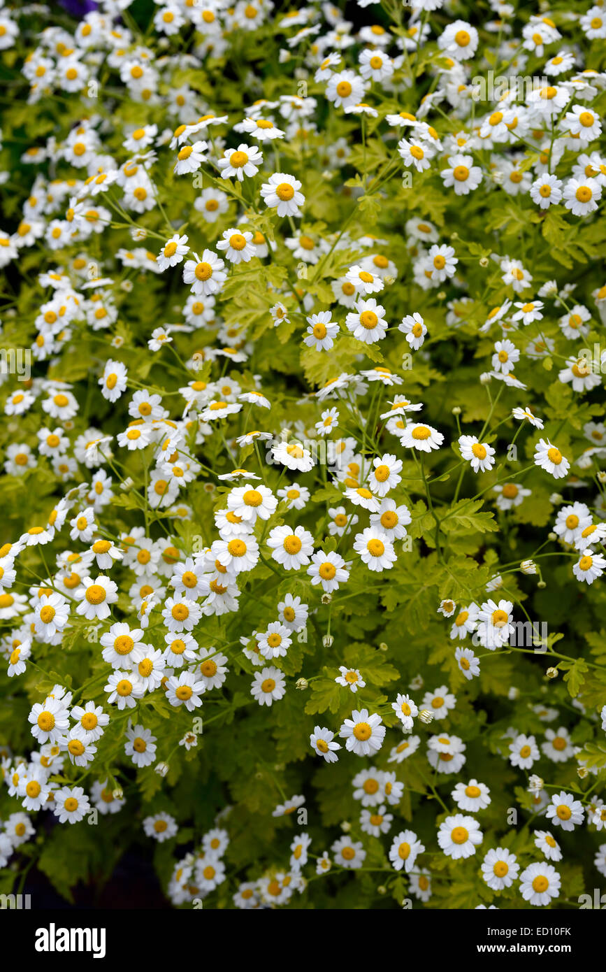 Tanacetum parthenium syn chrysanthemum feverfew closeups white tanacetum parthenium syn chrysanthemum feverfew closeups white yellow flowers flowering herbal herbs medicinal rm floral mightylinksfo