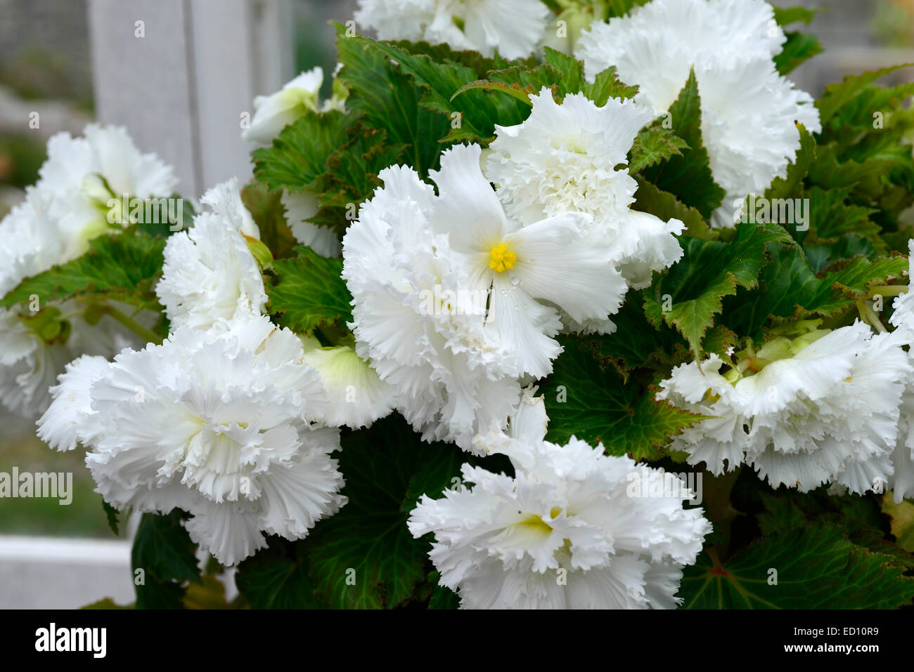White trailing flower stock photos white trailing flower stock white double begonia trailing plant tender annual bulb flower flowers flowering bedding rm floral stock mightylinksfo