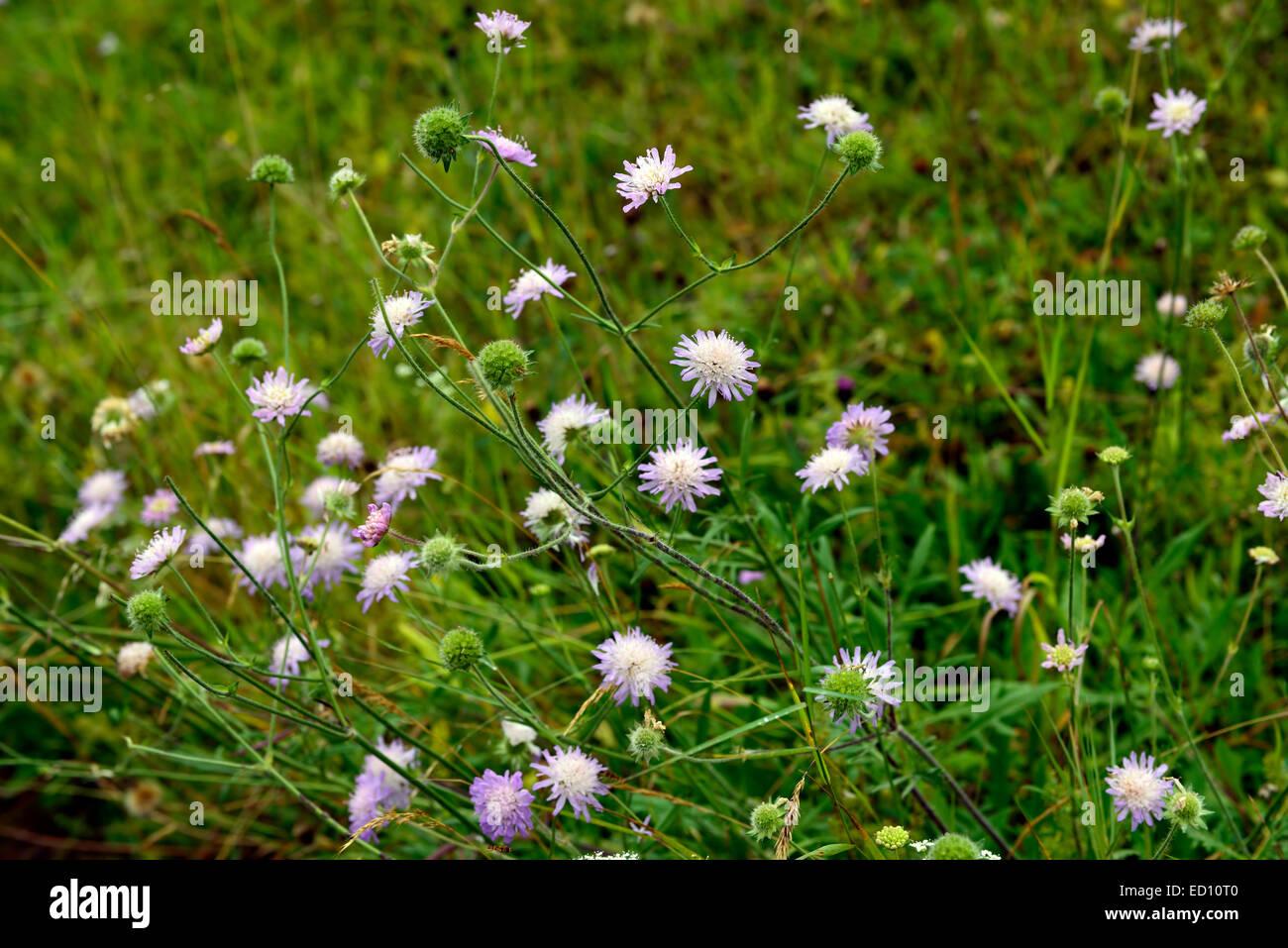 wild scabious Succisa pratensis Devil's-bit Scabious lilac wildflower wildflowers flower flowers flowering meadow - Stock Image