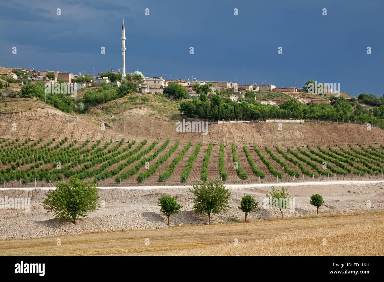 Vineyard and minaret in rural village in Anatolia, Turkey - Stock Image