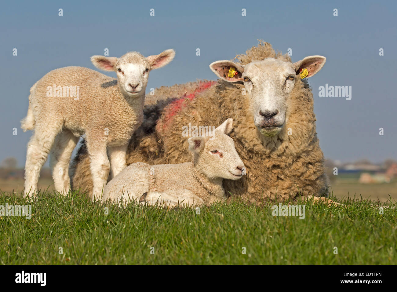 Sheep with young animals, North Frisia, Schleswig-Holstein, Germany, Europe - Stock Image