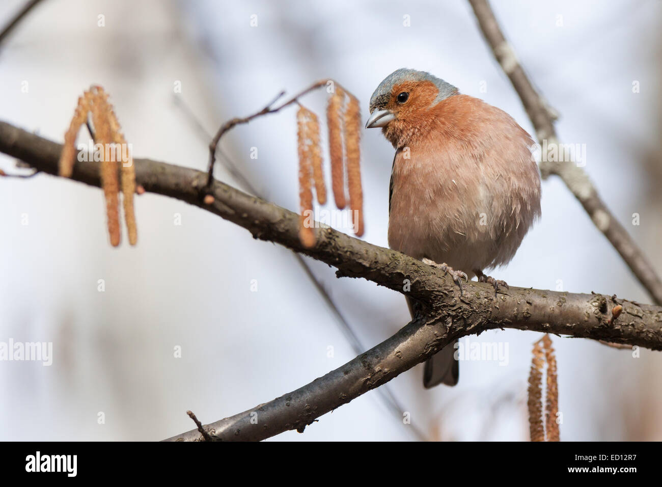 Chaffinch (Fringilla coelebs).Wild bird in a natural habitat. - Stock Image
