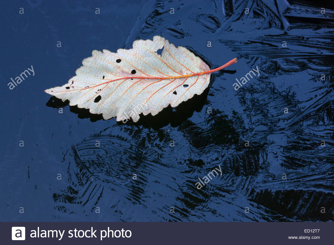 A fallen alder leaf floats on thin layer of ice covering a pond in Snohomish County, Washington. - Stock Image