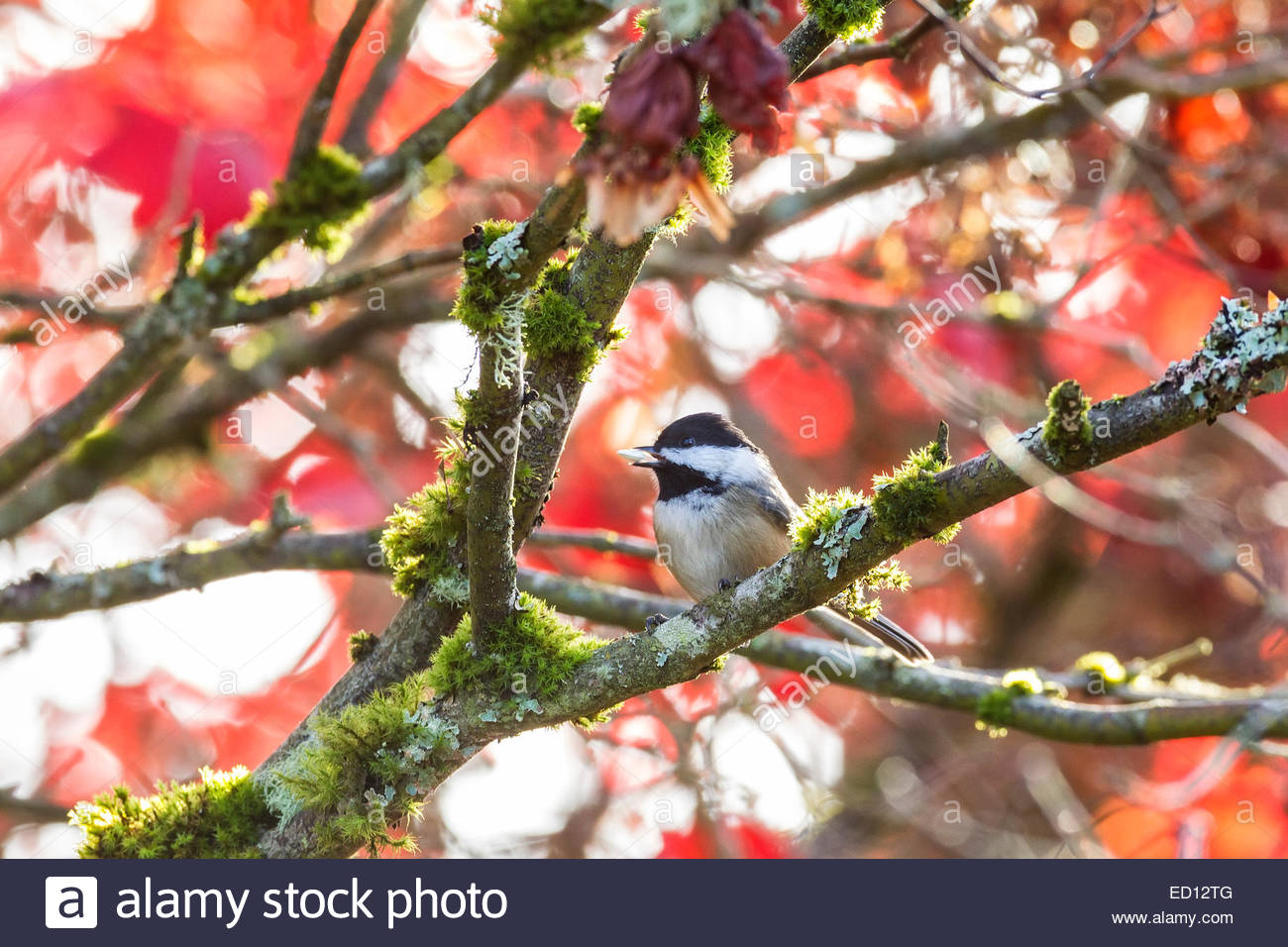 A chestnut-backed chickadee (Poecile rufescens) feeds on a seed while perched in a maple tree displaying its red - Stock Image