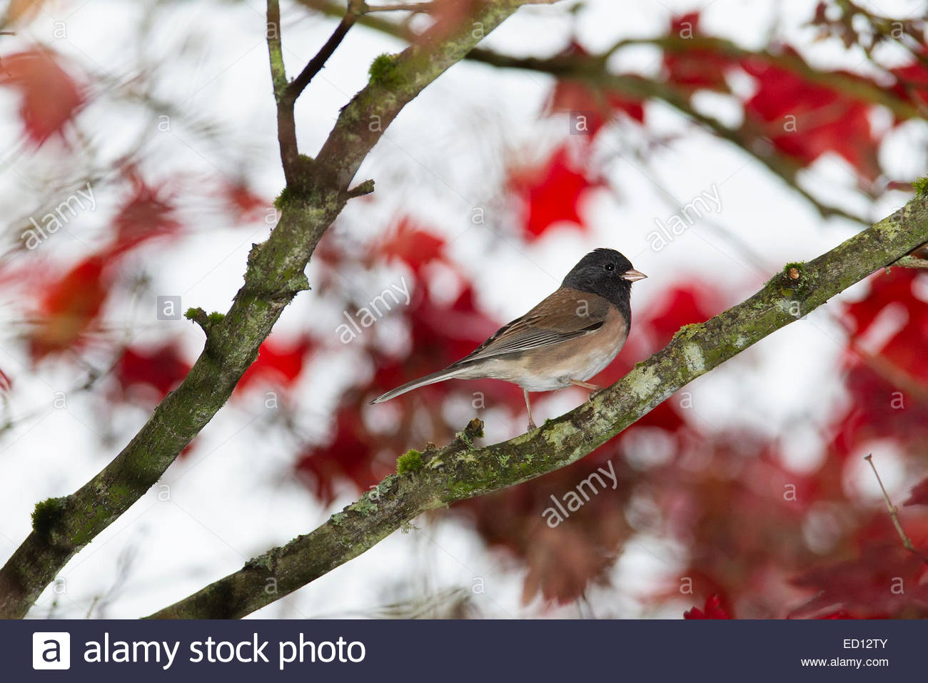 A male Oregon junco (Junco hyemalis simillimus) rests on a maple tree that's displaying its red fall color. - Stock Image