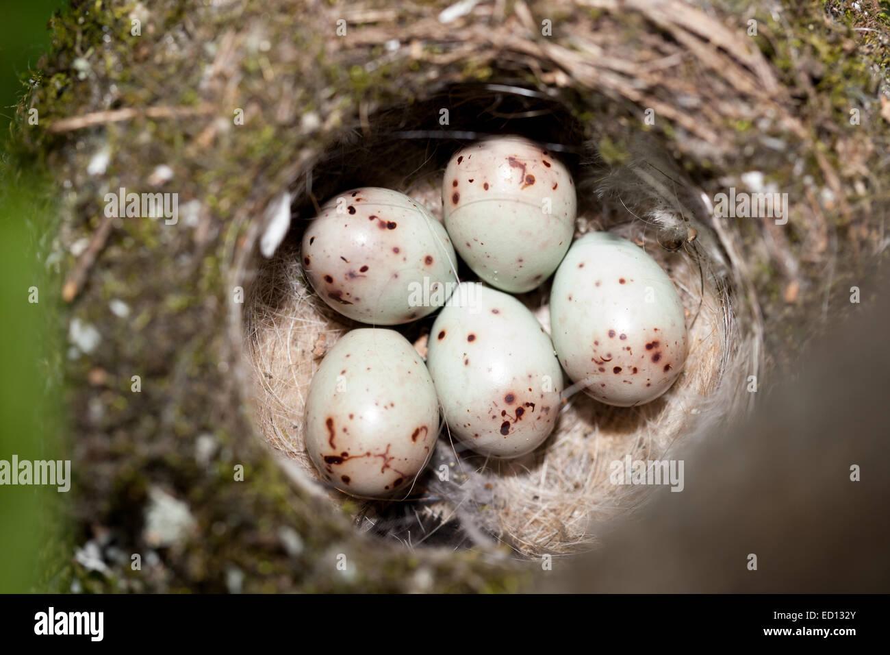 Nest of Chaffinch (Fringilla coelebs) with eggs. - Stock Image