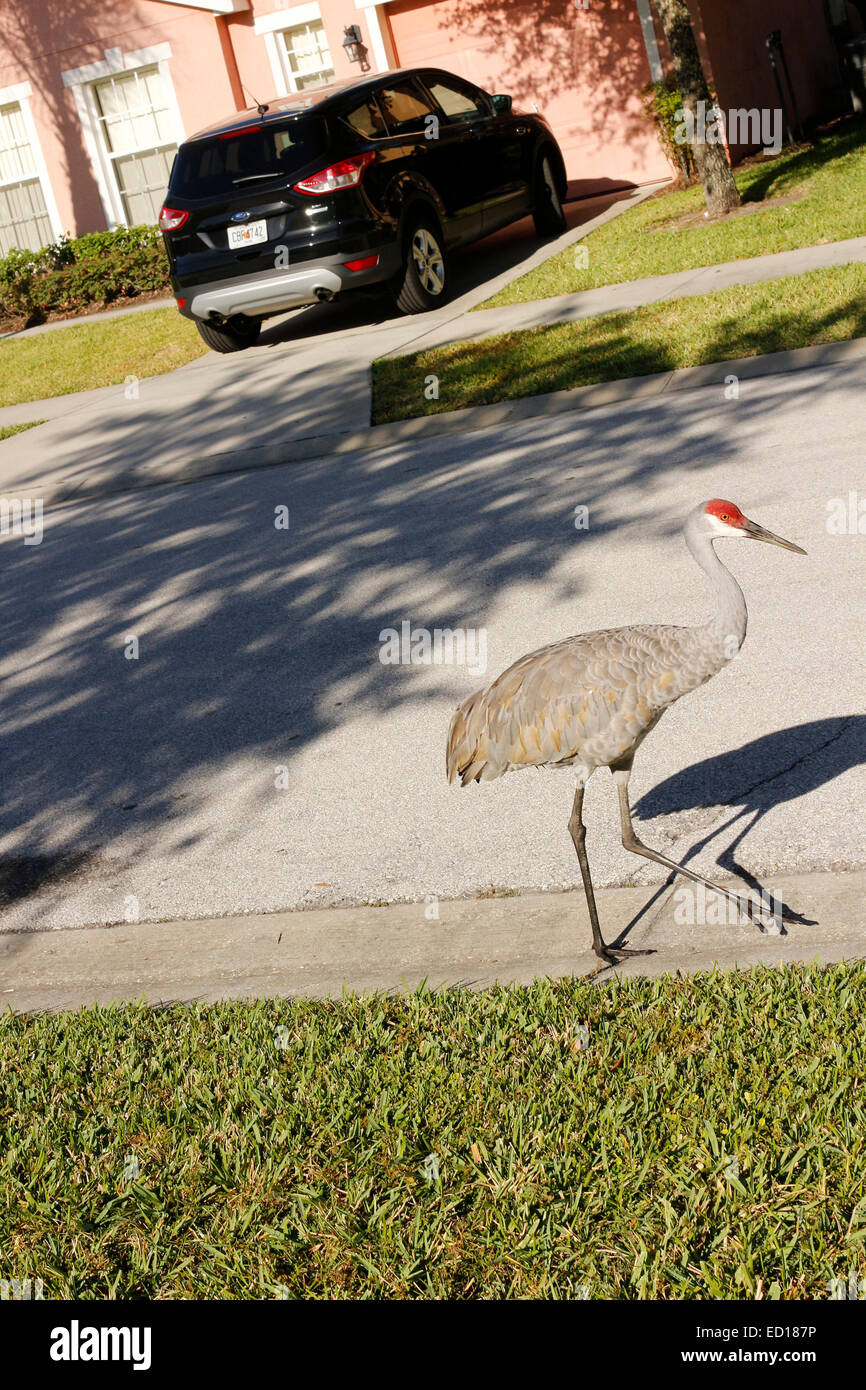 Sandhill crane in front of villa home in Florida close to Disney theme park for rent for vacations & Holidays. - Stock Image