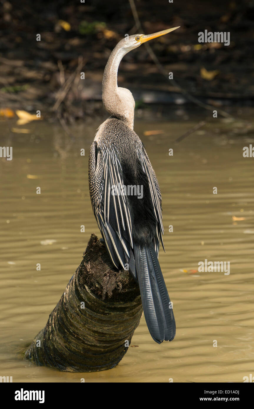 Kerala, India - Poovar. Snakebird in wetland mangroves of canals.Kerala, India - Poovar. Snakebird in wetland mangroves - Stock Image