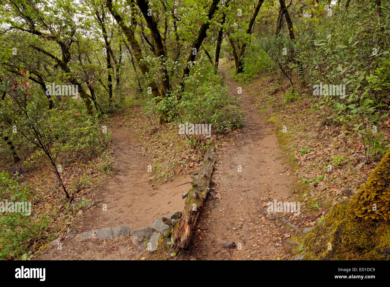 CA02614-00...CALIFORNIA -  A switchback on the Monroe Ridge Trail in the Marshall Gold Discovery State Historic - Stock Image