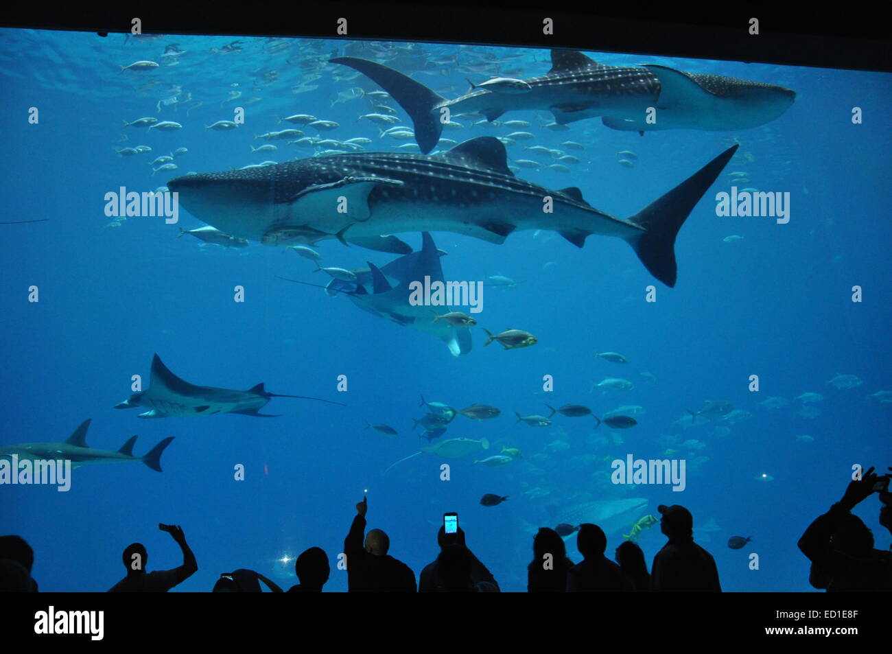 Sharks, stingrays and fish swimming in the world's largest aquarium in Atlanta, Georgia - Stock Image