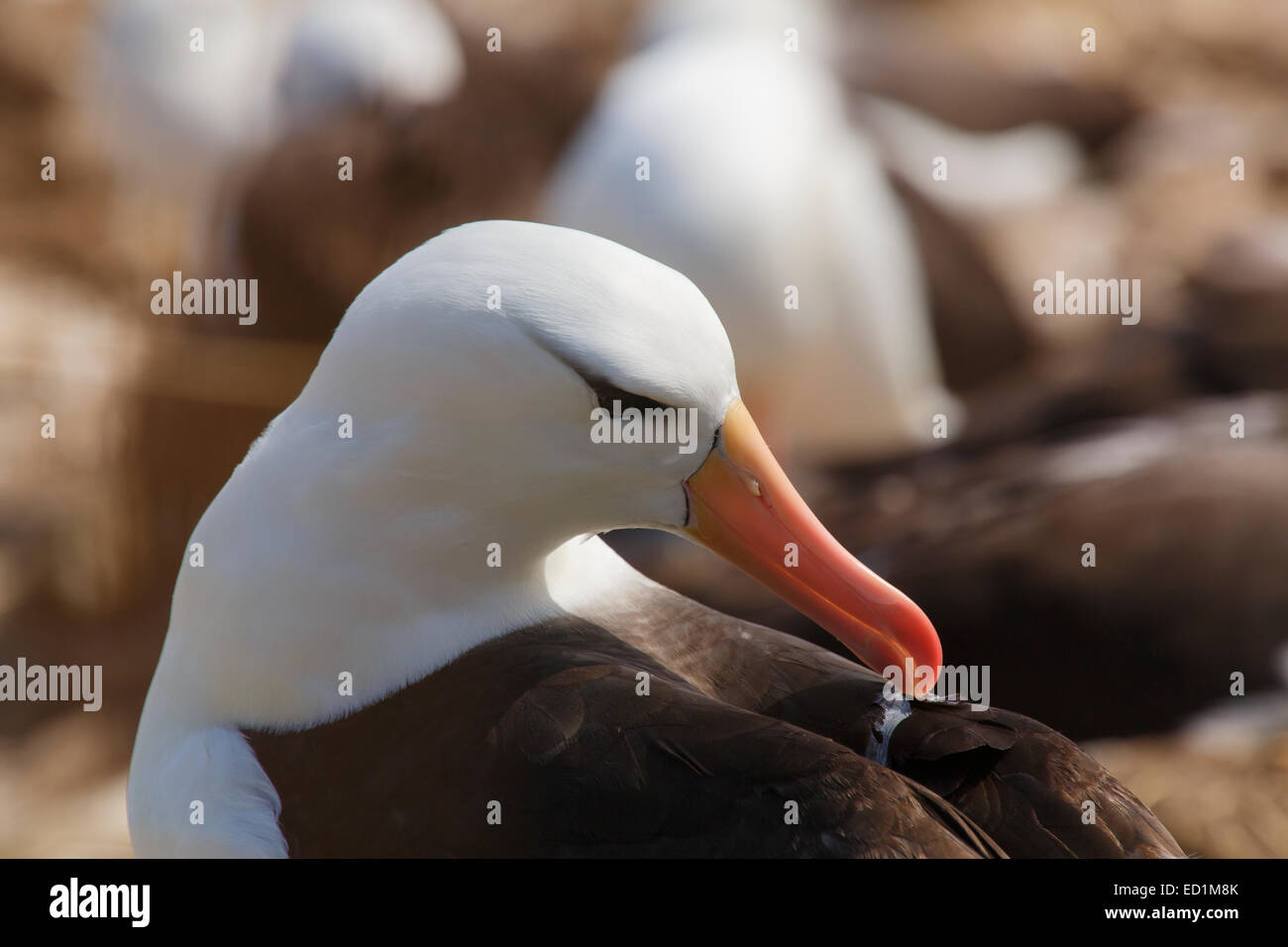 A huge colony of Black-browed Albatross on Steeple Jason, Falkland Islands. - Stock Image