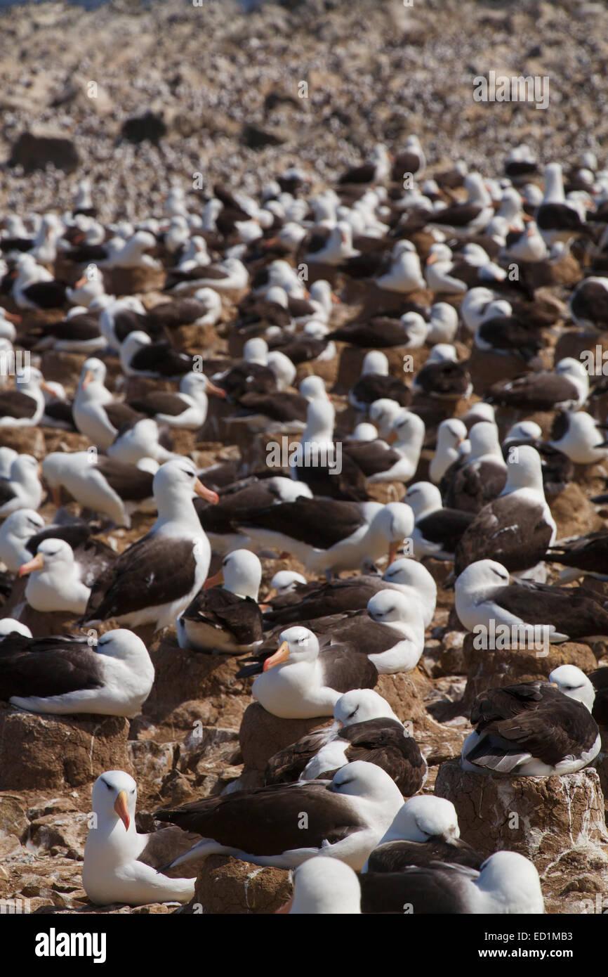 A huge colony of Black-browed Albatross on Steeple Jason, Falkland Islands. - Stock Image