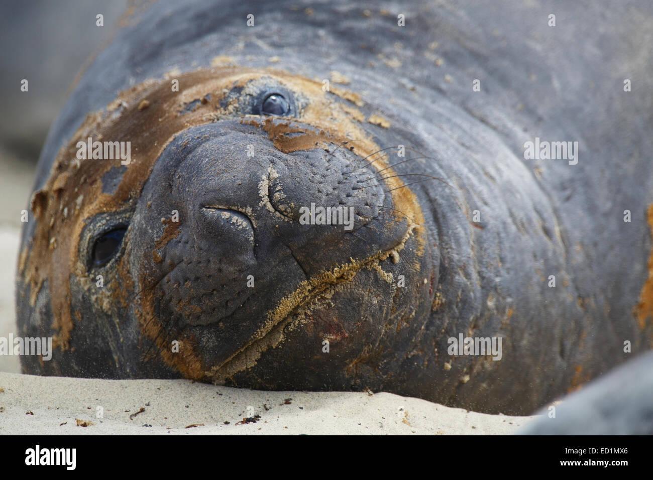 Southern Elephant Seals, Sea Lion Island, Falkland Islands. - Stock Image