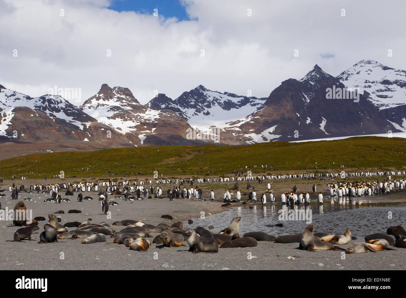 Salisbury Plain, South Georgia, Antarctica. Stock Photo