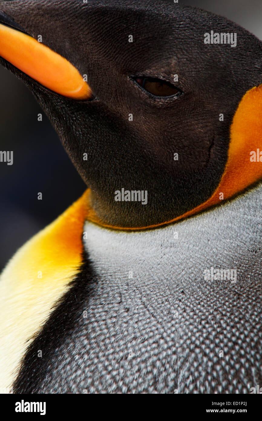 King penguins (Aptenodytes patagonicus) on the Salisbury Plain, South Georgia, Antarctica. - Stock Image