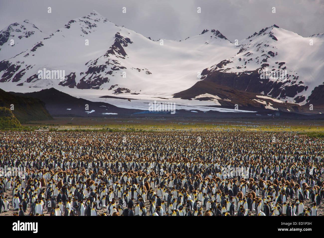 King penguins (Aptenodytes patagonicus) on the Salisbury Plain, South Georgia, Antarctica. - Stock Image