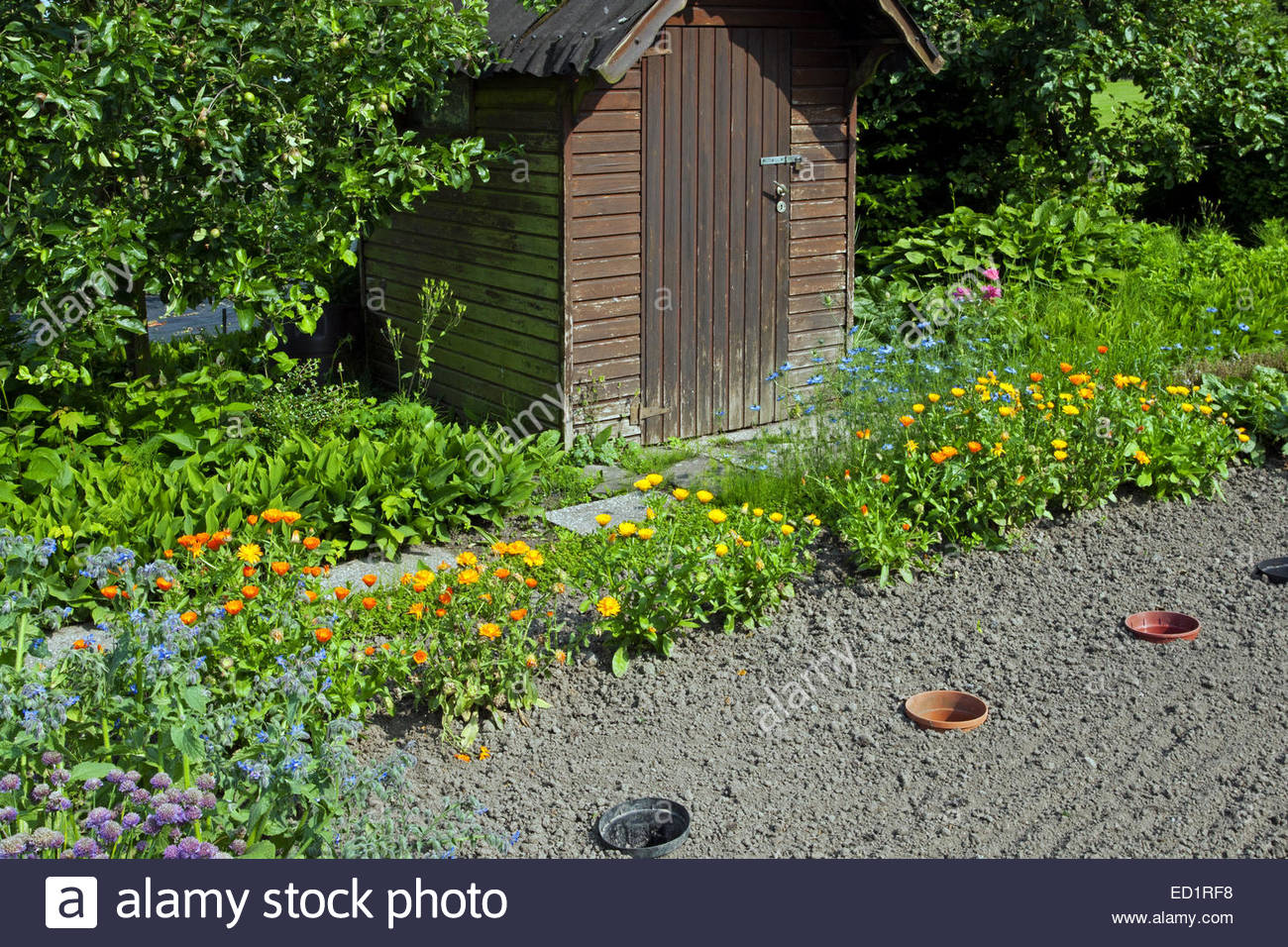 Garden shed, edible flowers and herbs growing in kitchen garden / herb garden / potager - Stock Image