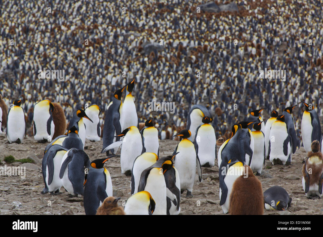 King penguins (Aptenodytes patagonicus), Saint Andrews Bay, South Georgia, Antarctica. - Stock Image