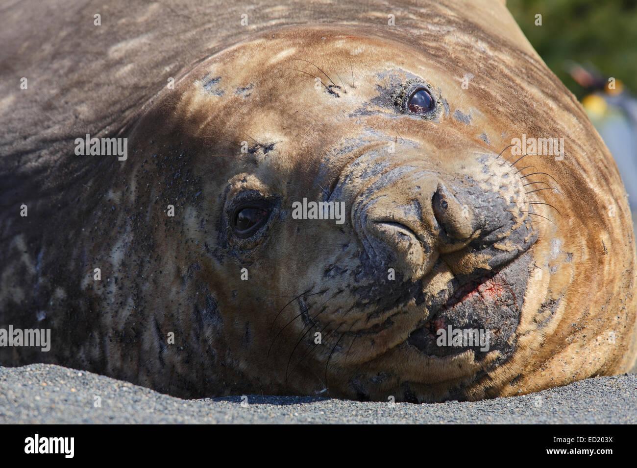Southern elephant seal (Mirounga leonina), Gold Harbour, South Georgia, Antarctica. - Stock Image