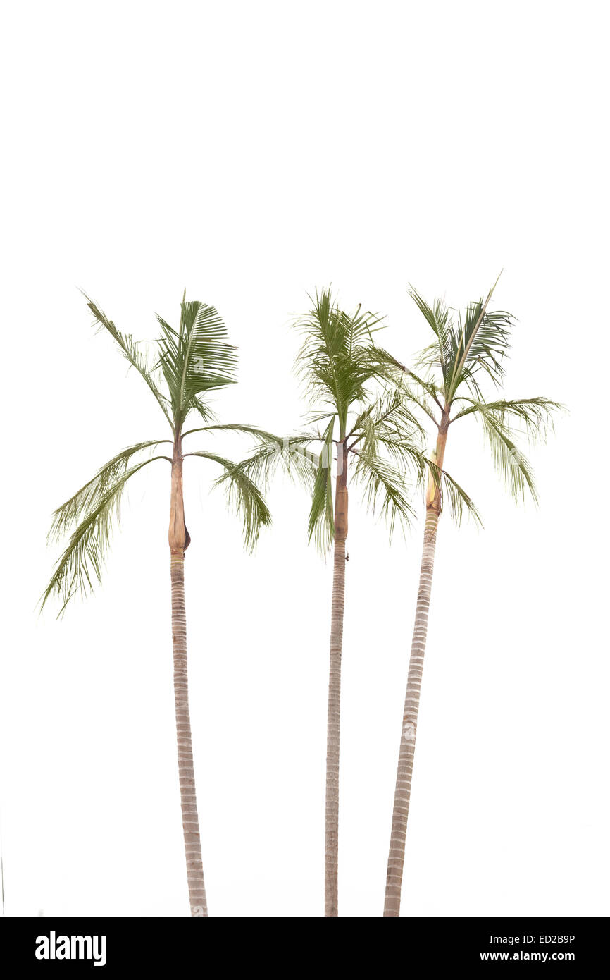 Palm trees  isolated on white background by the seaside - Stock Image