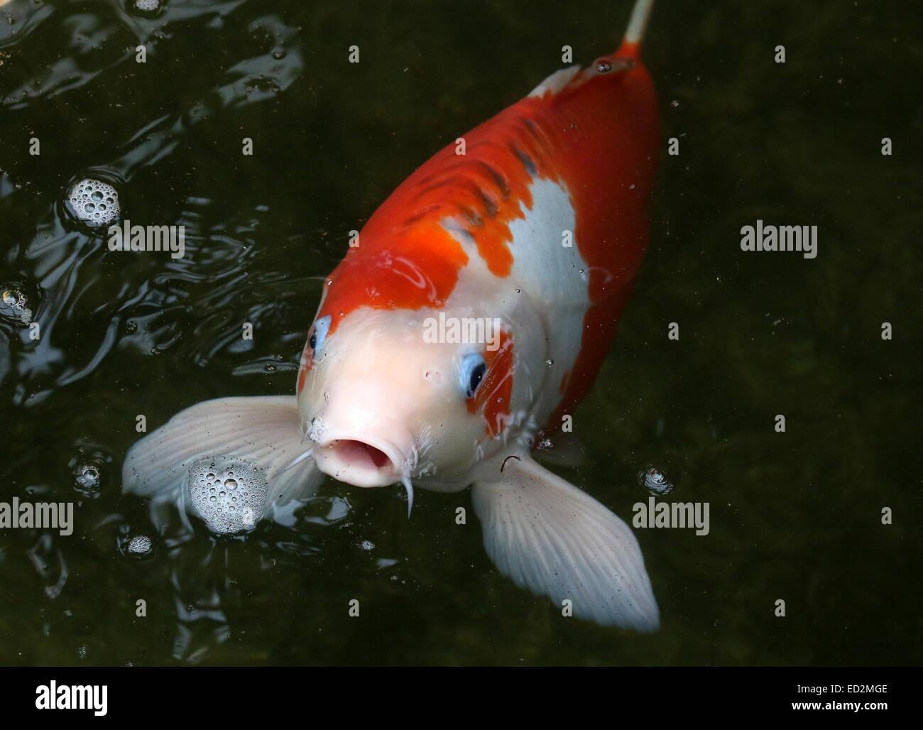 Orange And White Japanese Koi Carp With Blue Eye Lids Coming Up To Stock Photo Alamy