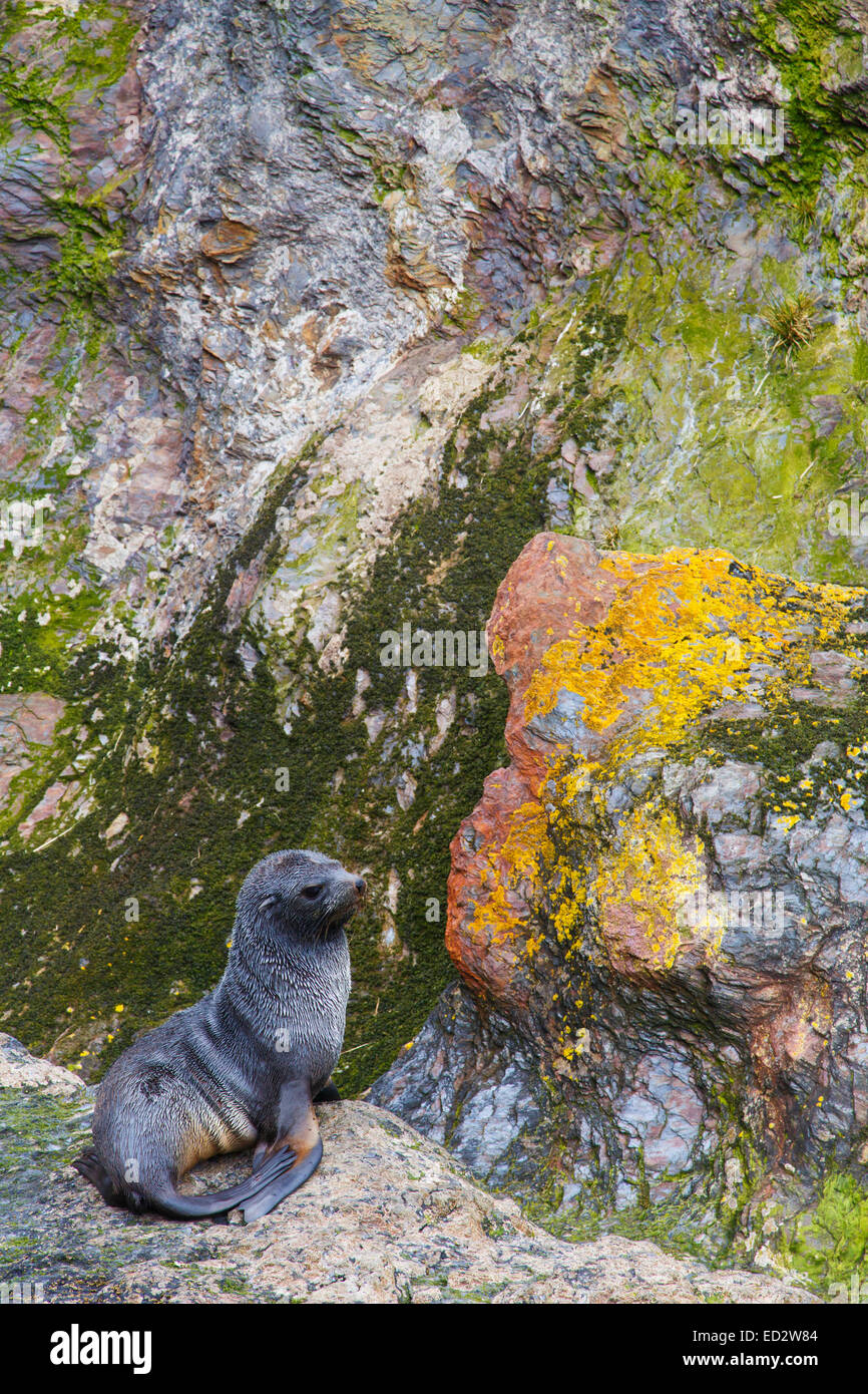 Antarctic fur seal (Arctocephalus gazella), Cooper Bay, South Georgia, Antarctica. - Stock Image