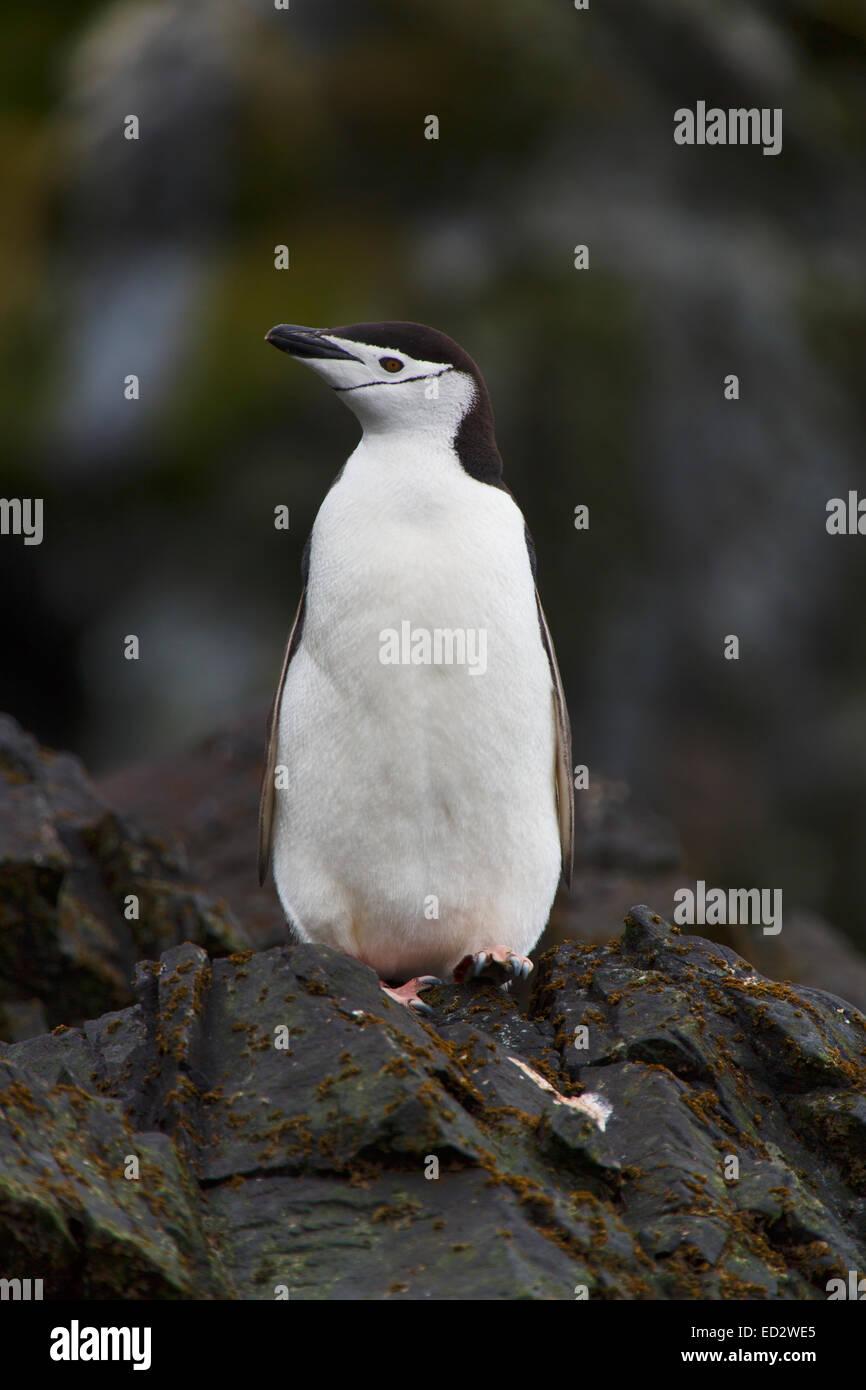 Chinstrap penguin (Pygoscelis antarctica), Cooper Bay, South Georgia, Antarctica. - Stock Image