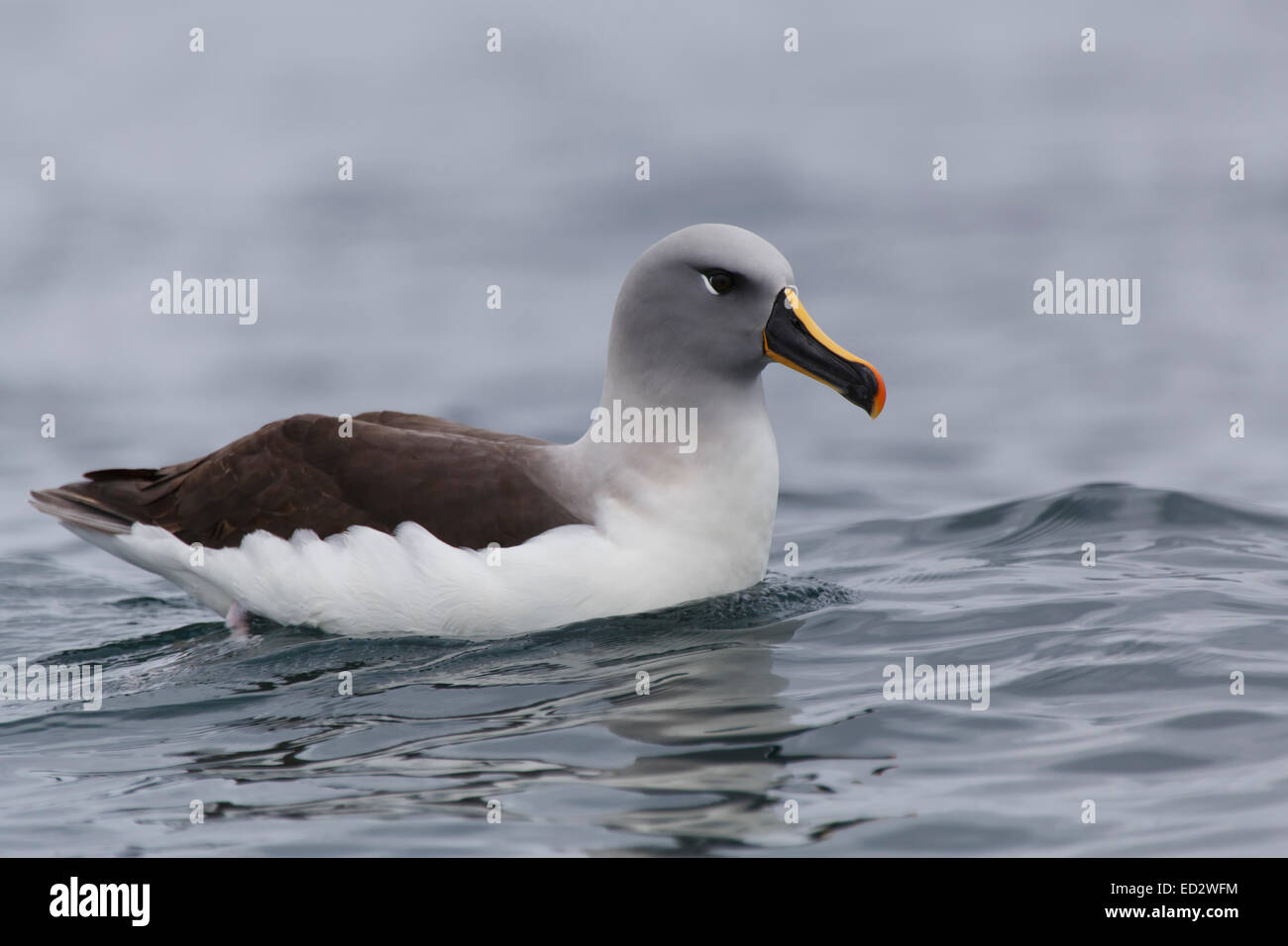 Grey-headed albatross (Thalassarche chrysostoma), Cooper Bay, South Georgia, Antarctica. - Stock Image