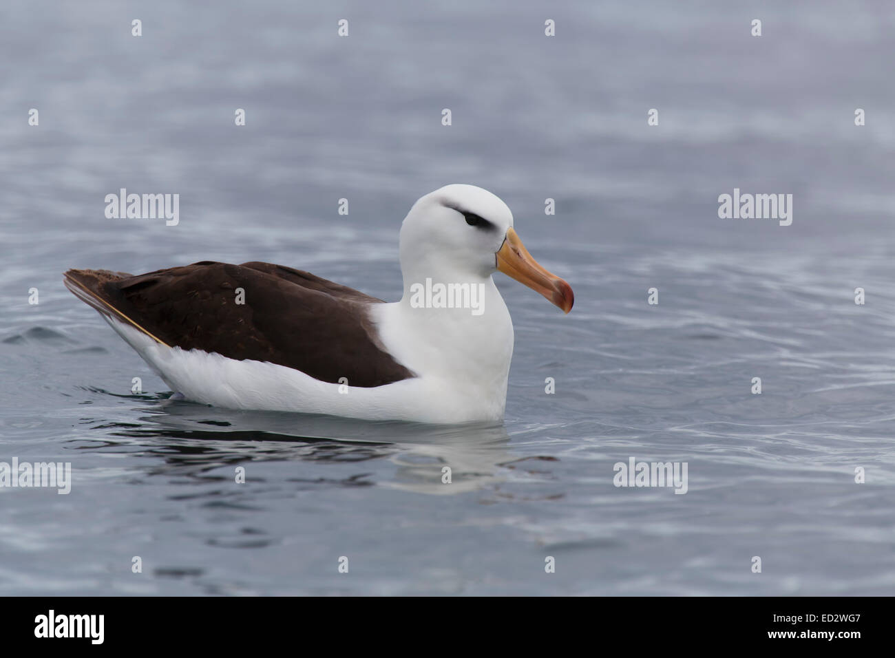 Black-browed albatross (Thalassarche melanophrys), Cooper Bay, South Georgia, Antarctica. - Stock Image