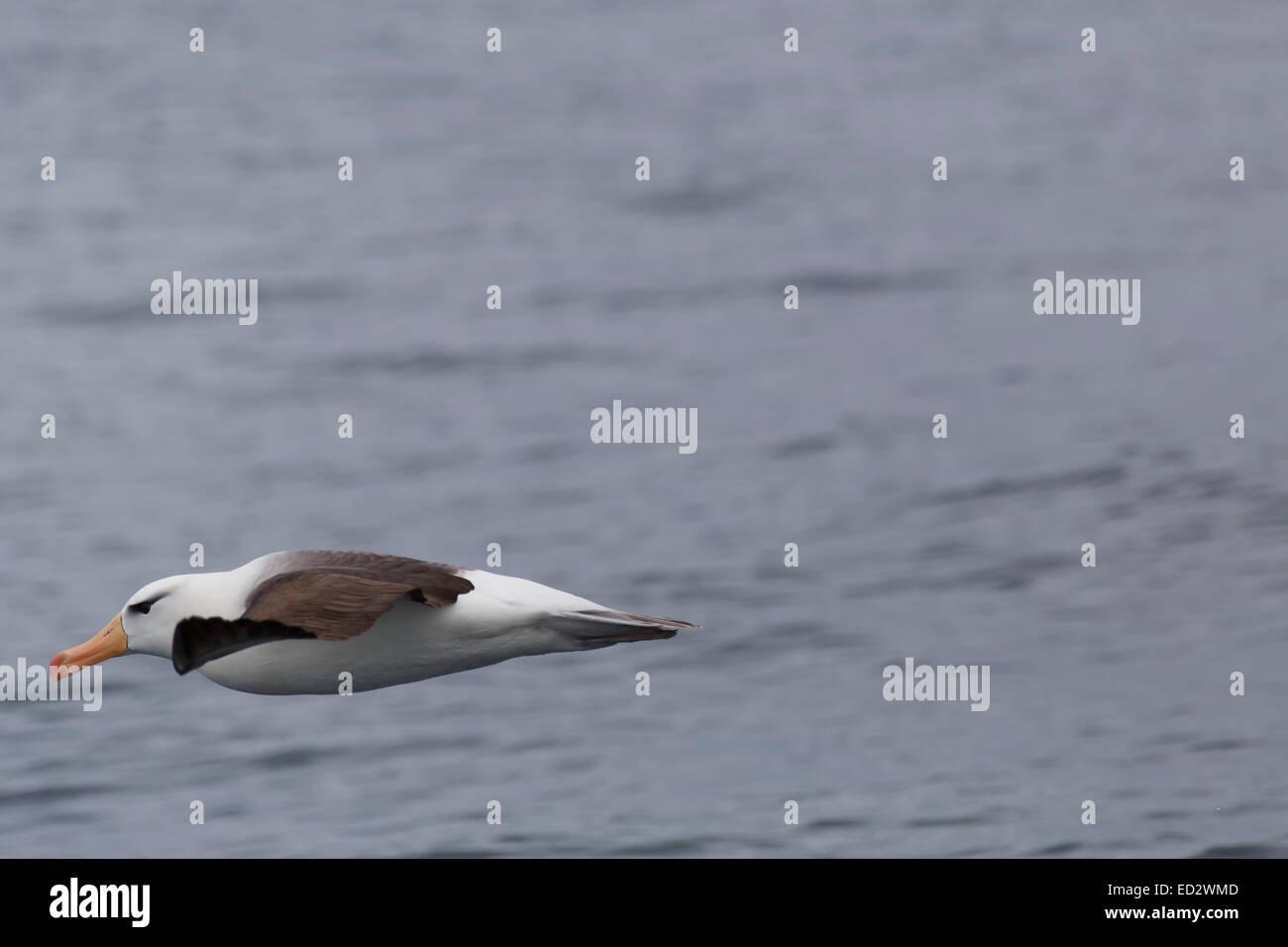 Black-browed albatross (Thalassarche melanophrys)Cooper Bay, South Georgia, Antarctica. - Stock Image
