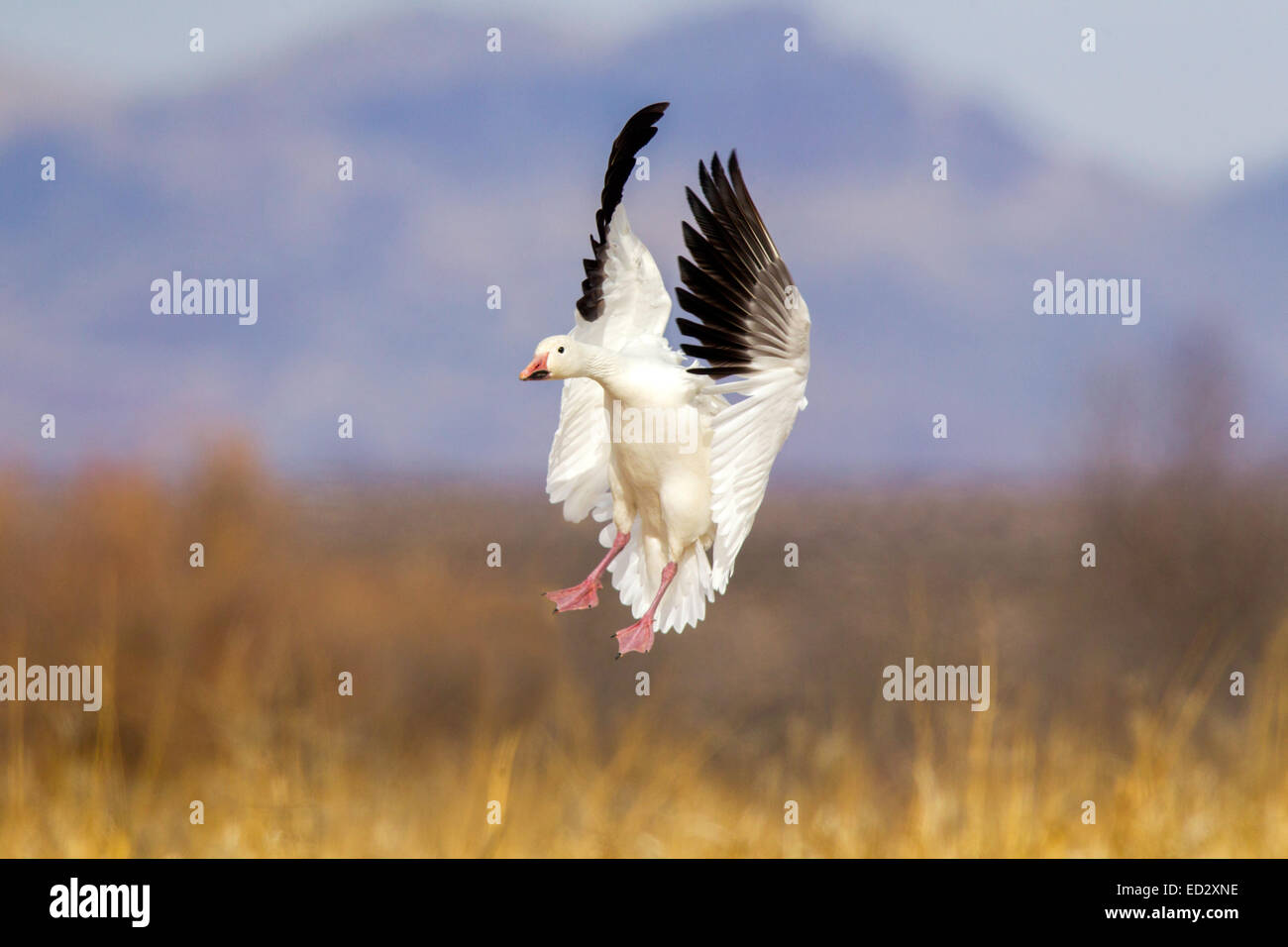 Snow Goose  Chen caerulescens Bosque del Apache National Wildlife Refuge, New Mexico, United States 17 December - Stock Image