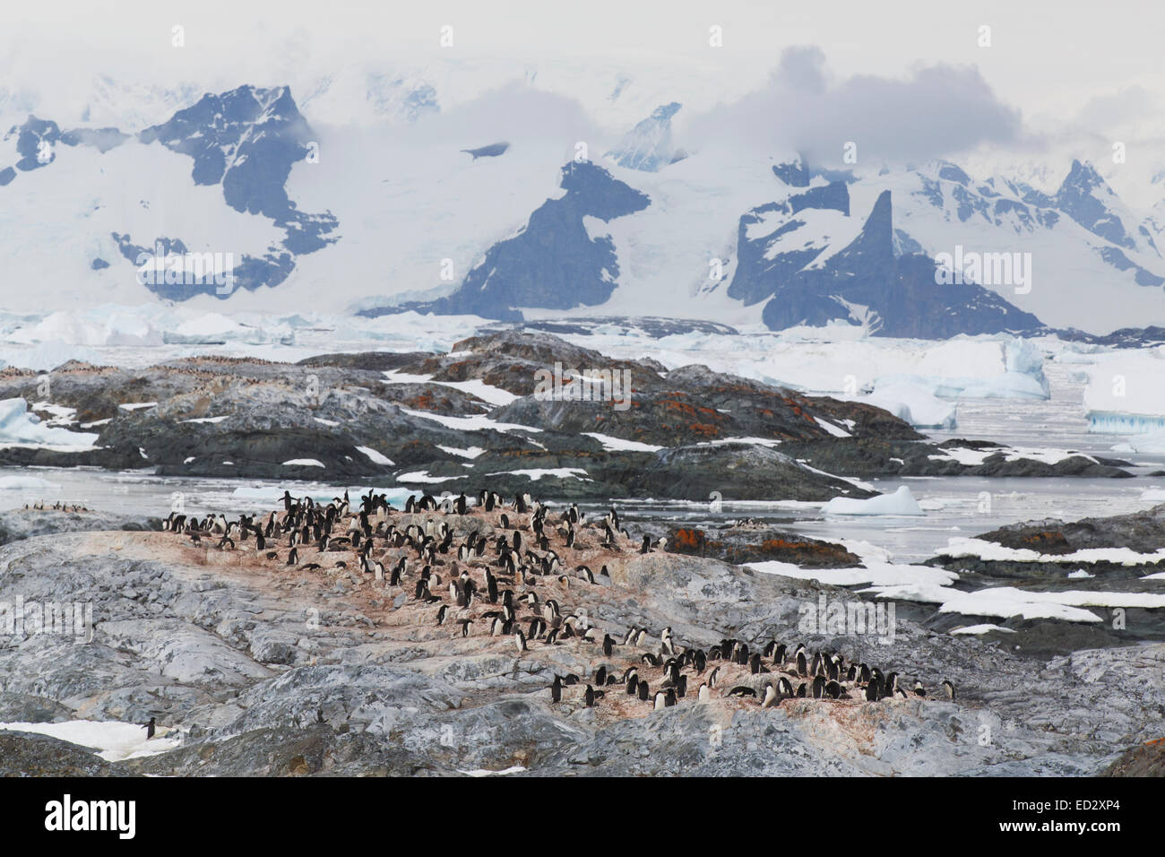 Adélie penguin (Pygoscelis adeliae) colony on Yalour Island, Antarctica. - Stock Image