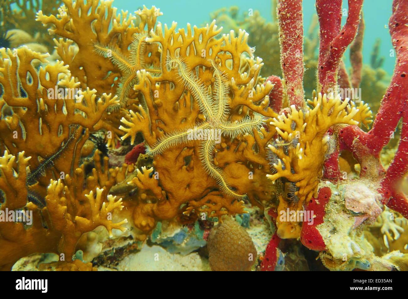 Underwater creature, Suenson's brittle star on branching fire coral, Caribbean sea - Stock Image