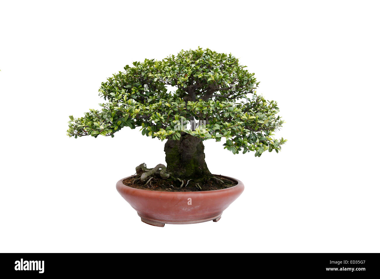 A small bonsai tree in a ceramic pot informal upright style a small bonsai tree in a ceramic pot informal upright styleisolated on a white background mightylinksfo