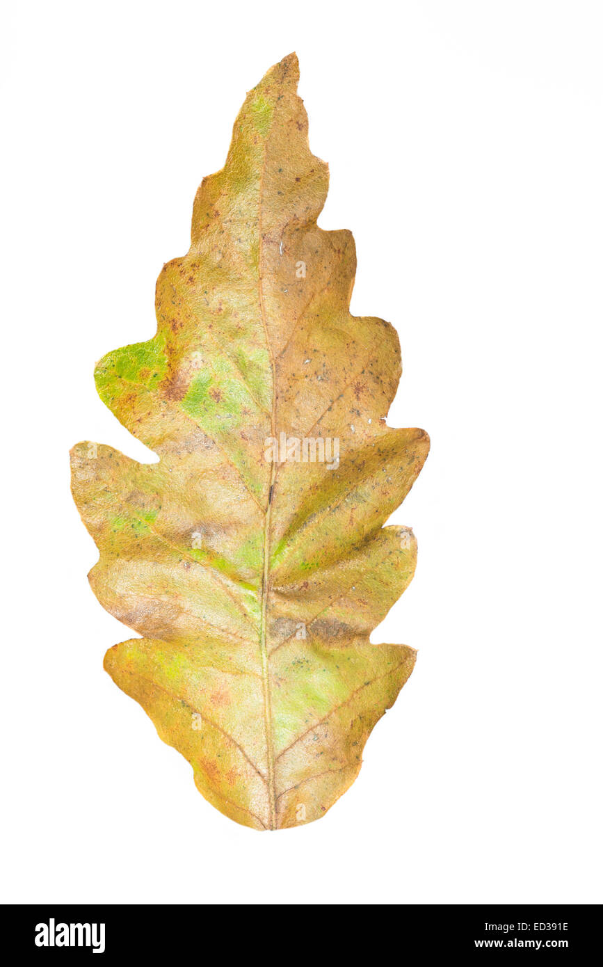 Turkey oak leaf at autumn time - Stock Image