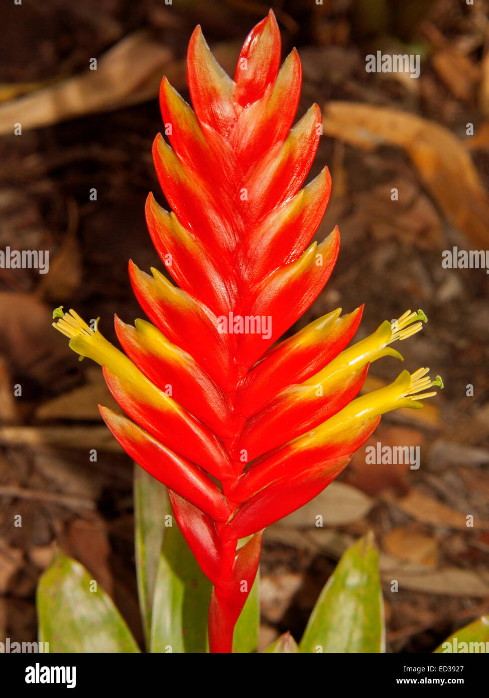 Vivid Flame Red Bracts And Bright Yellow Flowers Of Bromeliad Stock
