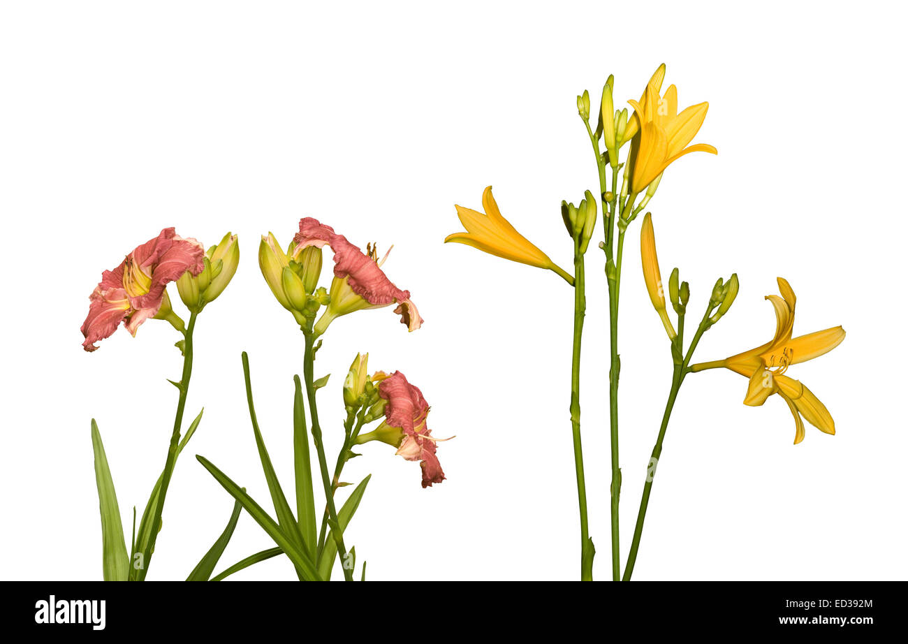 Triploid & diploid daylily flowers side by side, red flowers of Lois Hall & unnamed yellow cultivar on white - Stock Image