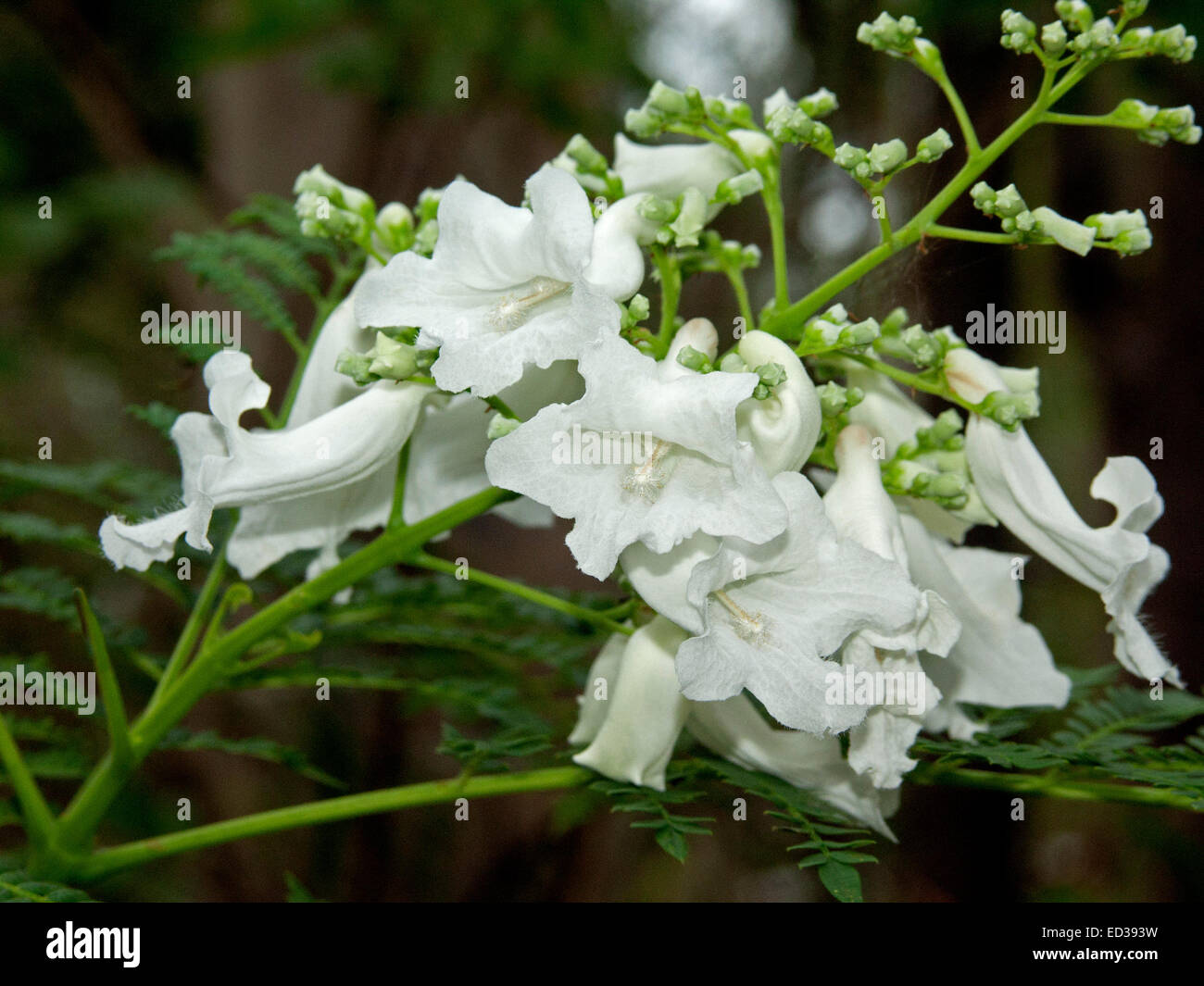 Cluster of flowers and buds of rare white flowered jacaranda tree cluster of flowers and buds of rare white flowered jacaranda tree white christmasagainst background of dark green leaves mightylinksfo