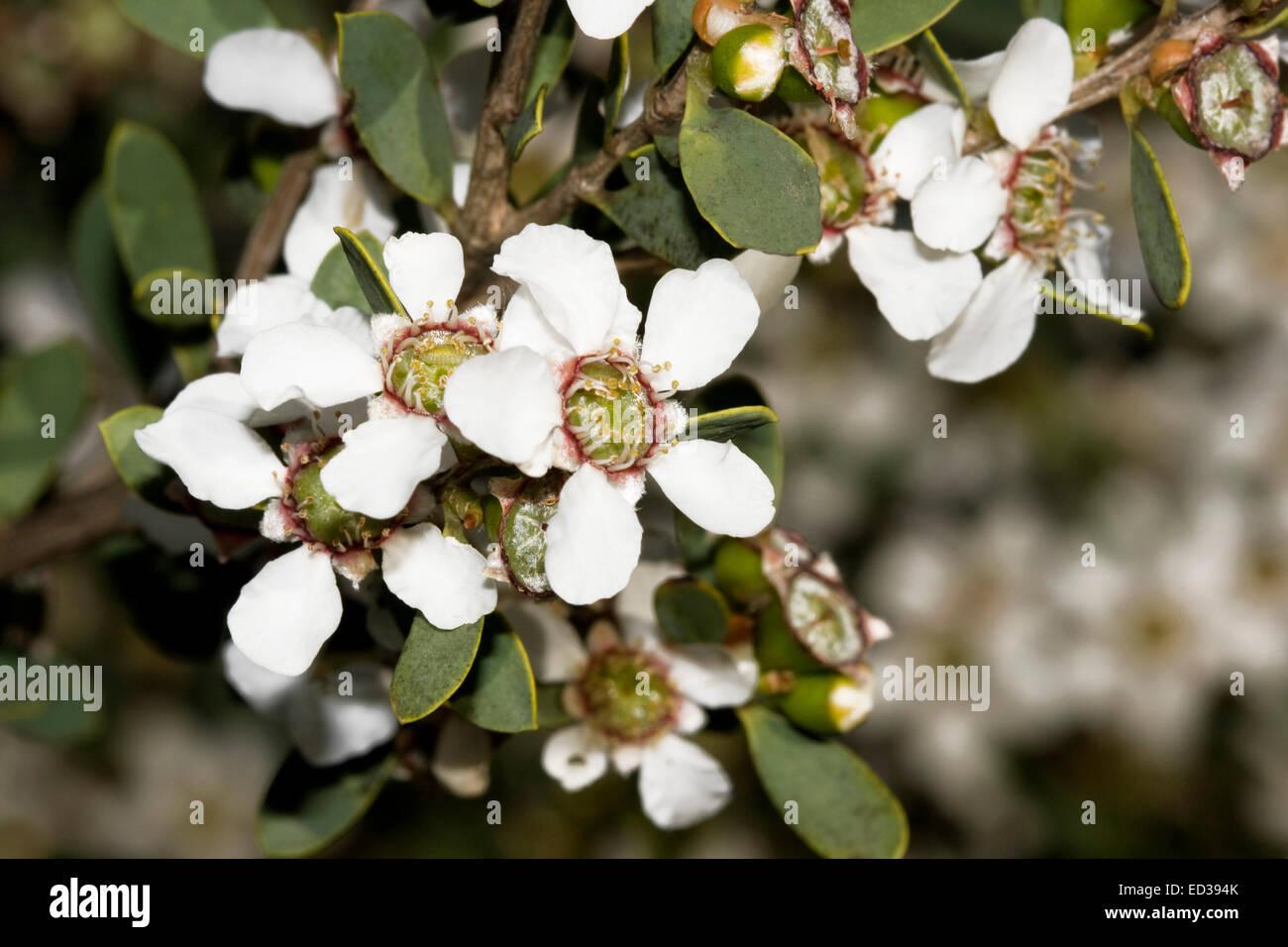 Coastal flowering plants of australia stock photos coastal cluster of attractive white australian wildflowers and dark green leaves of leptospermum laevigatum coastal tea mightylinksfo