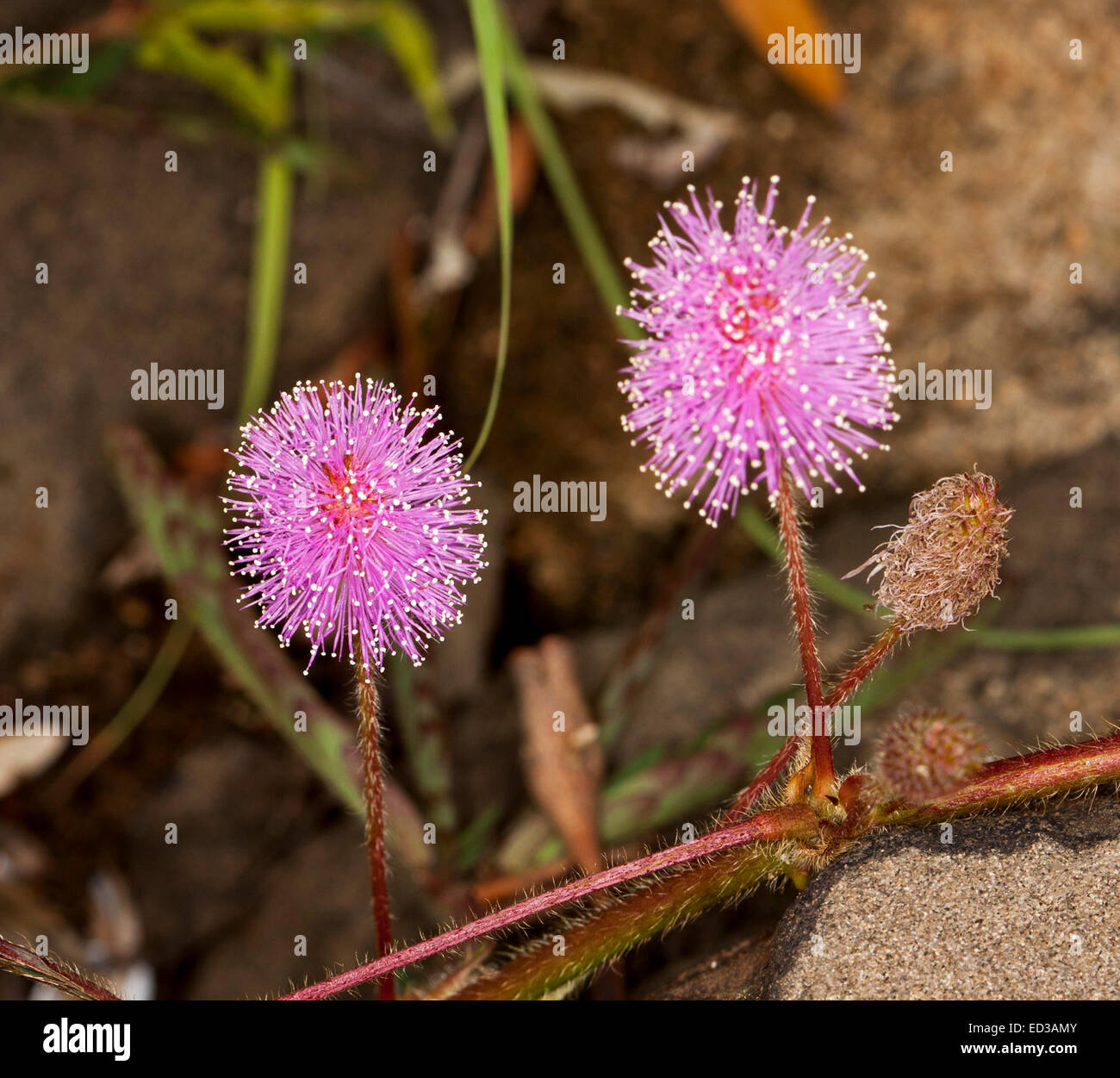 Tropical weeds stock photos tropical weeds stock images alamy bright pink flowers of mimosa pigra an invasive weed species causing environmental damage in northern mightylinksfo