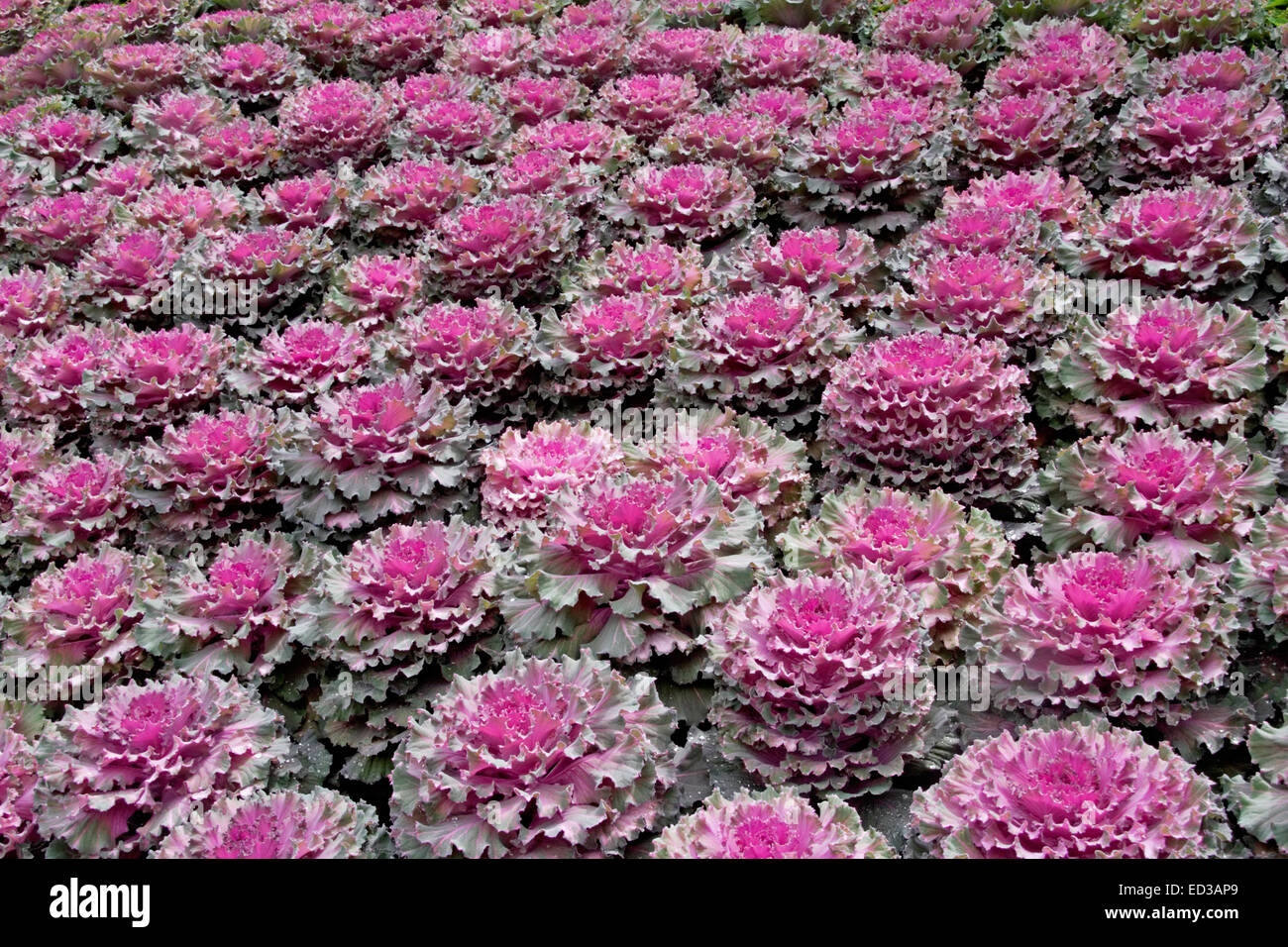 decorative mass planting of ornamental kale cabbage brassica stock photo 76906321 alamy. Black Bedroom Furniture Sets. Home Design Ideas