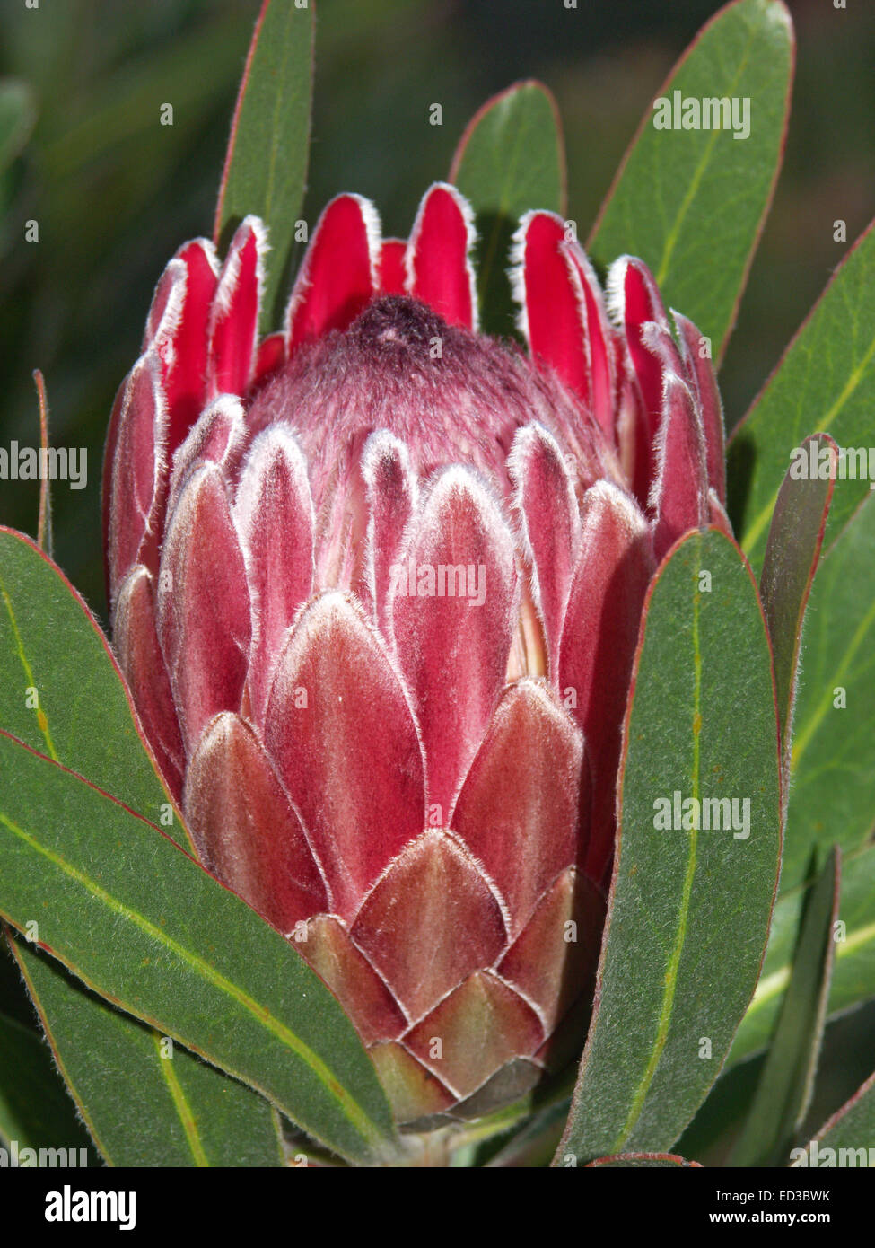 Protea Pink Ice Stock Photos Protea Pink Ice Stock Images Alamy