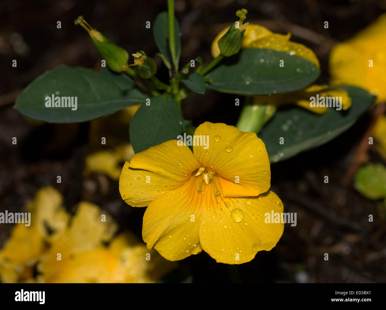 Golden yellow flower with raindrops on petals dark green leaves of golden yellow flower with raindrops on petals dark green leaves of reinwardtia indica mightylinksfo