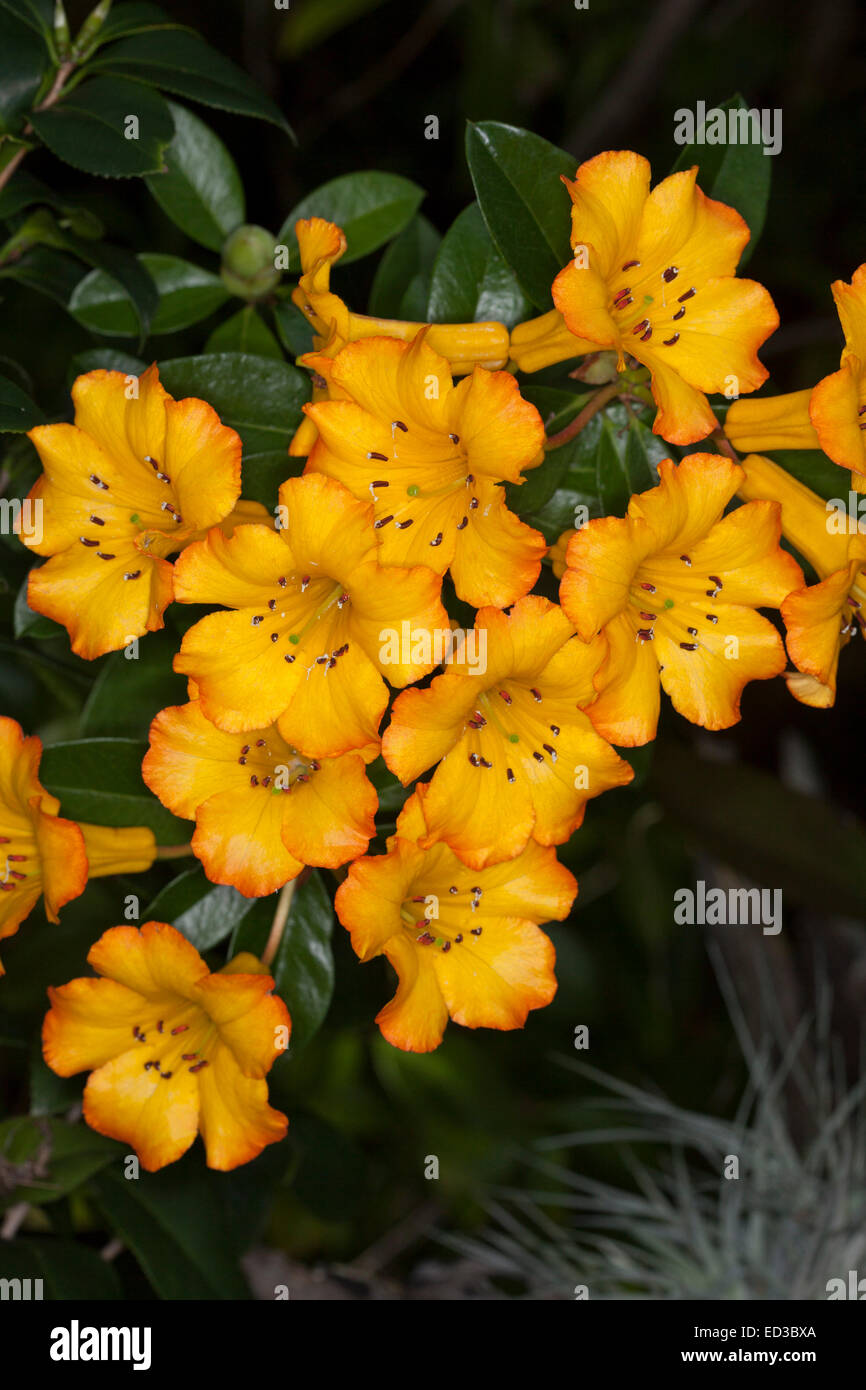 Cluster of brilliant yellow flowers edged with orange tropical cluster of brilliant yellow flowers edged with orange tropical vireya rhododendron hot topic background of dark green leaves mightylinksfo
