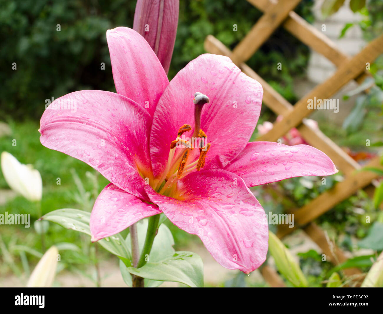 Lily Varieties Flowers In The Garden Stock Photo 76907518 Alamy
