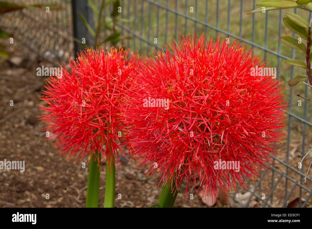 Two large vivid red flowers of African blood lily, Scadoxus multiflorus syn Haemanthus multiflorus - Stock Image
