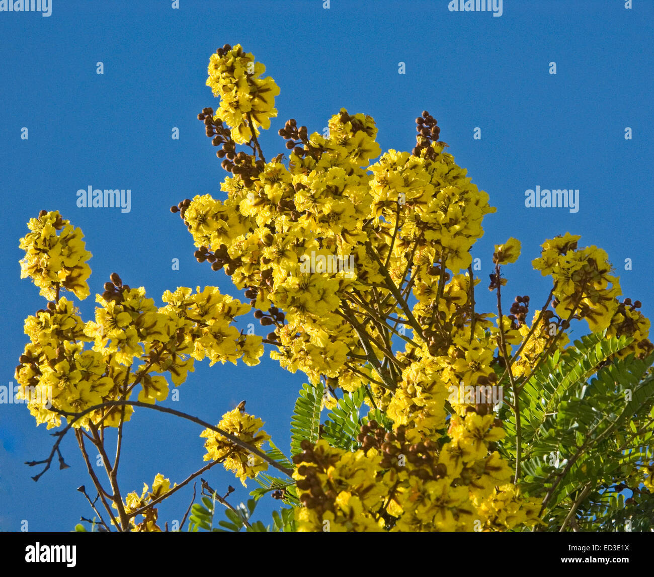 Large clusters of bright yellow flowers leaves of peltophorum large clusters of bright yellow flowers leaves of peltophorum pterocarpum an australian native tree against vivid blue sky mightylinksfo