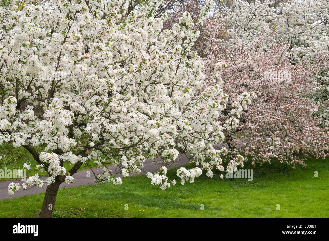 Blooming crab apple trees stock photos blooming crab apple trees flowering crabapple trees malus white angel stock image mightylinksfo