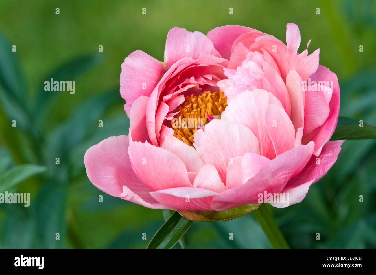 Paeonia lactiflora 'Coral Charm' - Stock Image
