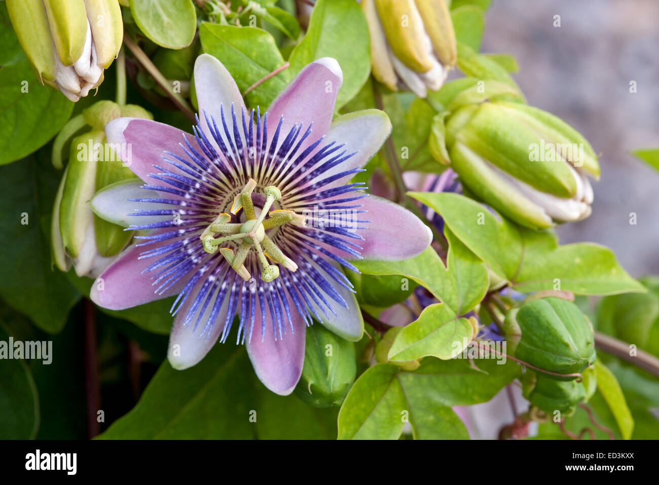 Violet Passion Flower Stock Photos Violet Passion Flower Stock